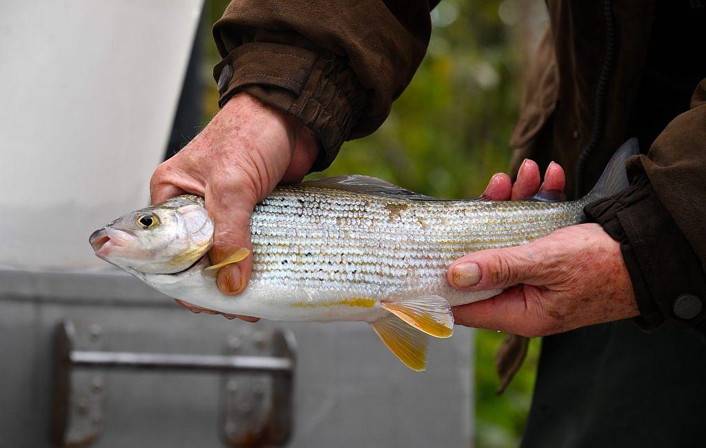 Die Äsche ist Österreichs Fisch des Jahres 2021