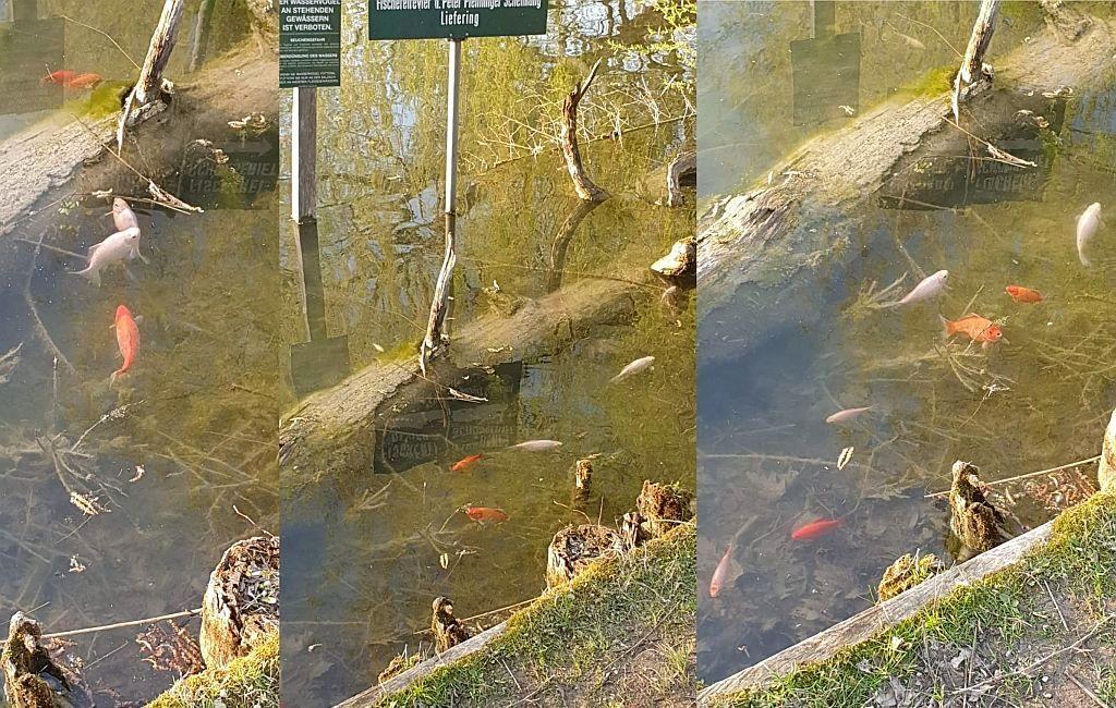 """Goldfische im Leopoldskroner Weiher """"entsorgt"""""""